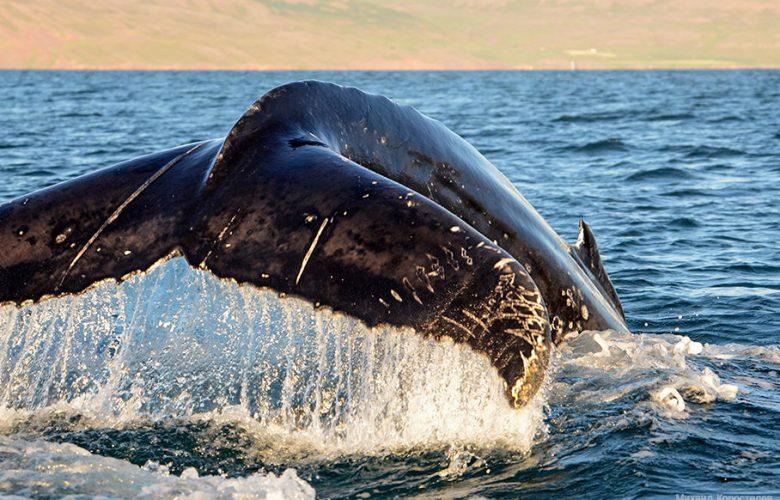 Наблюдение за китами в Норвегии — радость на всю жизнь